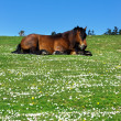 Brown horse lying on grass with daisies — Stock Photo