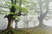 Foggy beech forest with green leaves in spring — Stock Photo