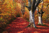 Trail in autumn beech forest with vivid colors — Stock Photo