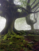 Mysterious and twisted trees in fog with green roots — Stock Photo