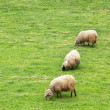 Flock of sheep grazing — Stock Photo #26992387
