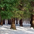 Pine forest with snow in winter — Stock Photo #29233067
