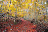 Autumn beech forest with vivid colors — Stock Photo