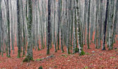 Beech forest in autum — Stock Photo