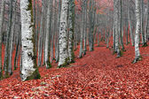 Forest in autumn with red leaves on ground — Stock Photo