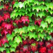 Ivy plants in autumn with red and green leaves — Stock Photo
