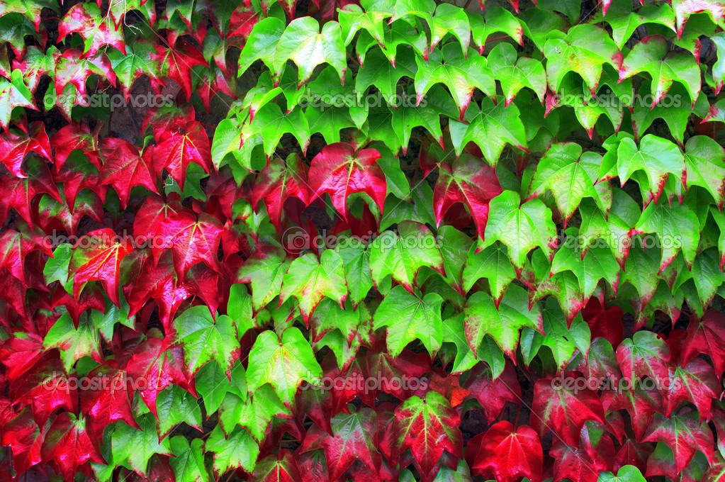 efeu pflanzen im herbst mit roten und gr nen bl ttern stockfoto 34382169. Black Bedroom Furniture Sets. Home Design Ideas