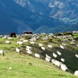 Sheep on mountain slope — Stock Photo