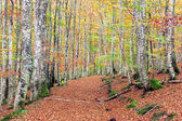 Beech forest with vivid colors and trail — Stock Photo
