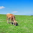Brown cow on sunny meadow in spring — Stock Photo #45524201