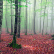 Beech forest with fog and sunbeams — Stock Photo