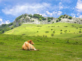 Cow resting in meadows — 图库照片