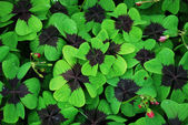 Red-leaved clover — Stock Photo