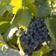 Stock Photo: Rhone Grapes