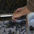 Grape Sorting — Stock Photo