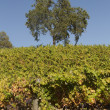 California Vineyard Scene — Stock Photo