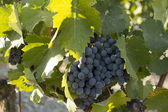Rhone Grapes — Stock Photo