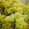 Chardonnay Grapes — Foto de Stock