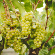 Chardonnay Grapes - Stock Photo