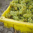 Bin of Chardonnay - Stockfoto