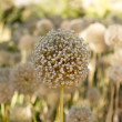 Stock Photo: Dried Allium