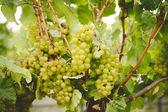 Chardonnay-trauben — Stockfoto