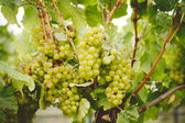 Chardonnay Grapes — Stock Photo