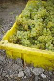 Bin of Chardonnay — Stock Photo