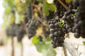 Whole Cluster of Grapes — Stock Photo