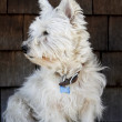 Scruffy Westie — Stock Photo