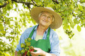 Senior checking a red currant bush — Stock Photo