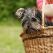 Yorkshire terrier in basket — Stock Photo