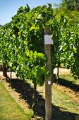Vine growth variety on plantation — Stock Photo