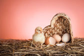 Newborn chicken — Stock Photo