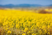 Yellow flowering oilseed — Stock Photo