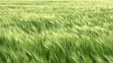 Sea wheat with wind — Stock Video