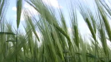 Spikelets of green wheat and the man's hand — Stock Video
