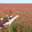 Targeting on a poppy field — Stock Video