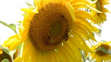 Bee and sunflower — Stock Video