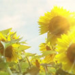 Sunflowers, smoke and sun — Stock Video