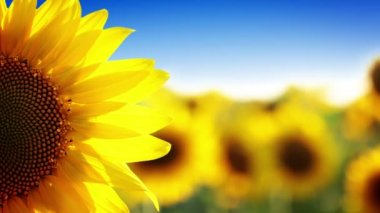 Sunflower and blue sky — Stock Video