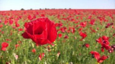 Beautiful poppy flower — Stock Video