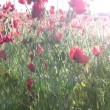 Red poppies and sun — Stock Video