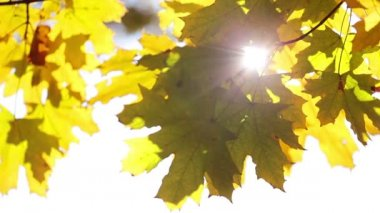 Sun and maple leaves — Stock Video