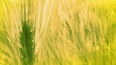 Background with Ears of Wheat — Stockvideo