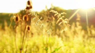 Prairie Grass and Spider Web and Sun — Stock Video
