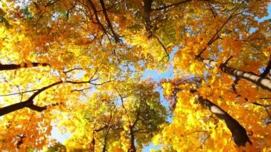 Tops of Trees in the Autumn Forest — Vídeo Stock