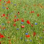 Sommerfeld mit roten und blauen Blumen — Stock Photo