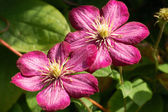 Macro of two ruby red Clematis - flowers — Stock Photo