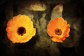 A close-up of a flower of Adonis on a grunged canvas background — Stock Photo